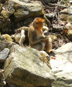 Gold-faced monkey with baby