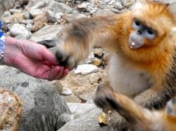 陕西省秦岭里的金丝猴被喂食花生