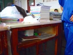 生活在学校课桌的兔子(山丹培黎学校)!